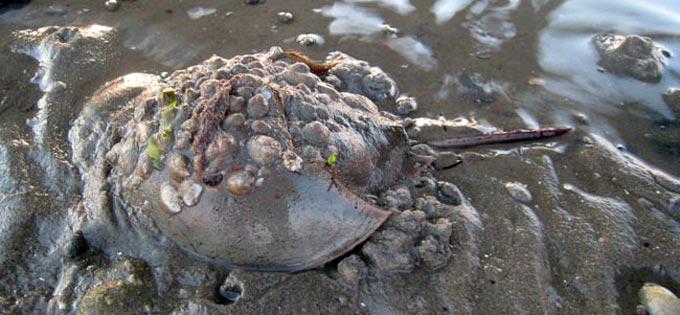 Horseshoe_Crab_Blog