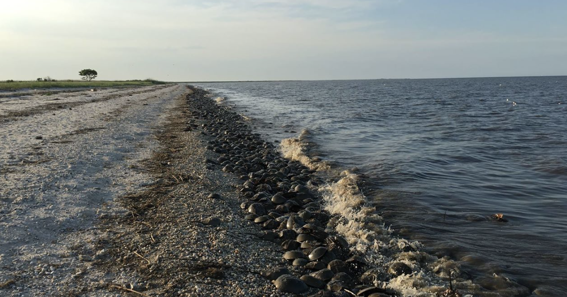 Healthy Horseshoe Crab Population Spawning in Delaware