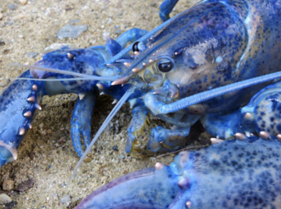 A Rare Blue Lobster Inspires a New Illustrated Children's Book