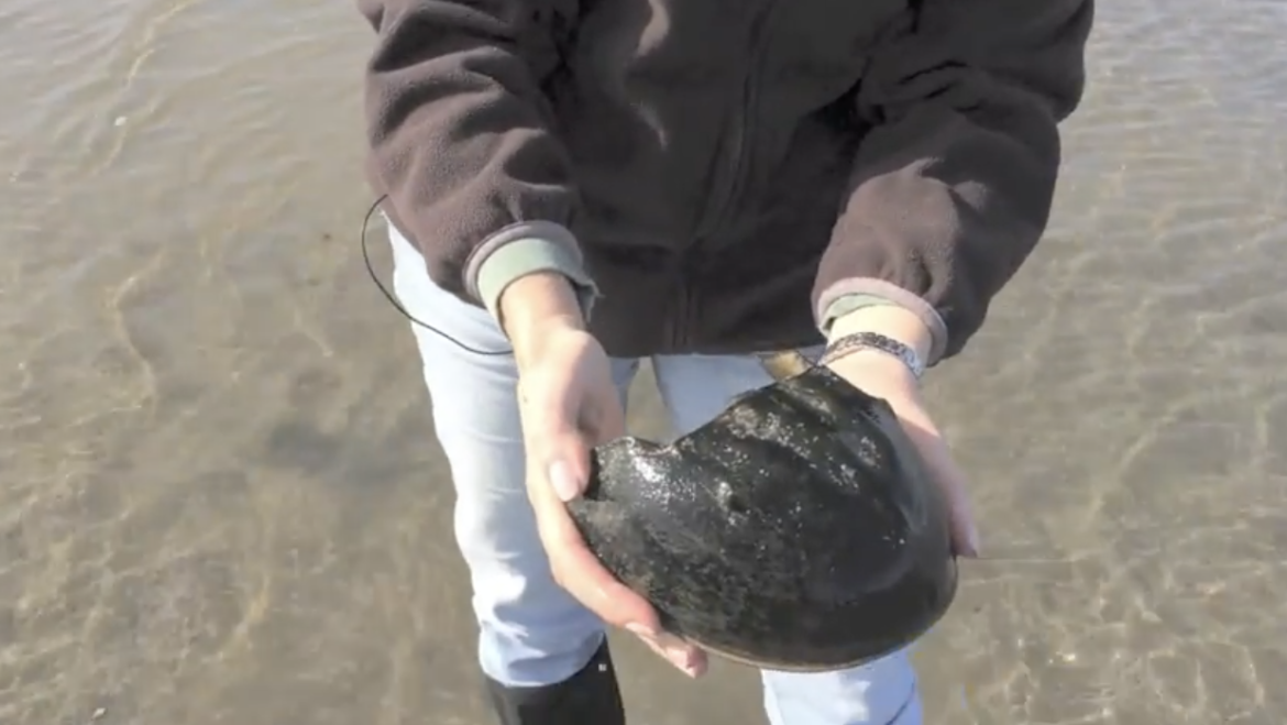 A Horseshoe Crab from Head to Feet