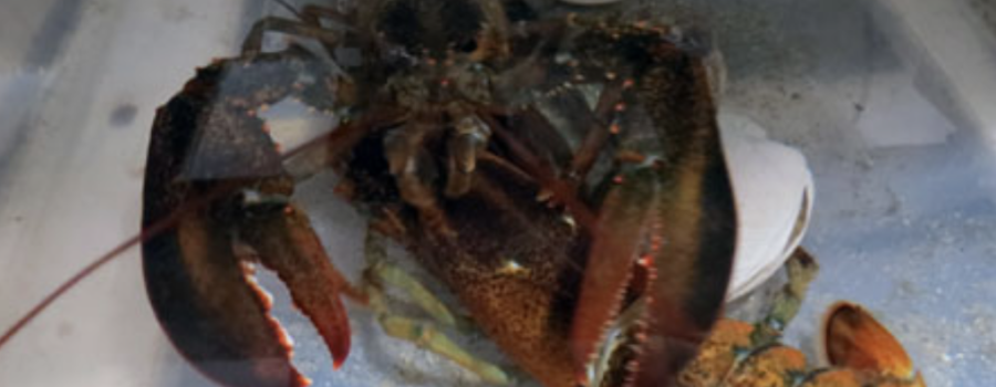 "Model Lobster Molts as ""Something's Tugging on My Claw!"" Goes to Print: Exciting New Contest!"