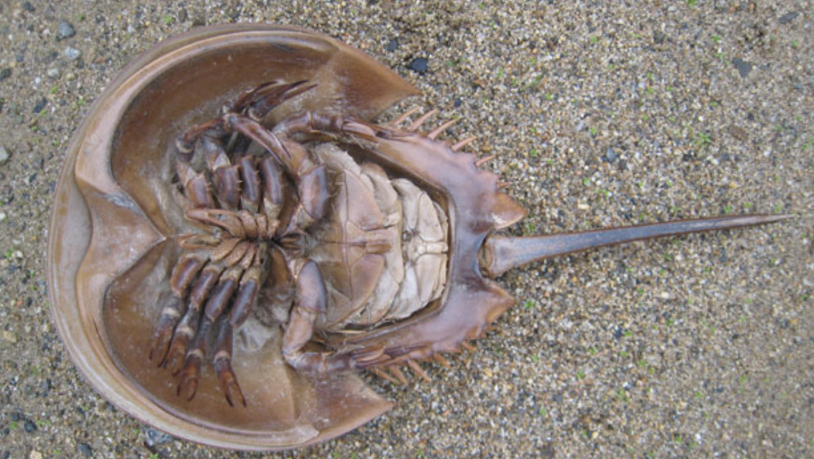 """Have You Found a """"Dead"""" Horseshoe Crab on the Beach?"""